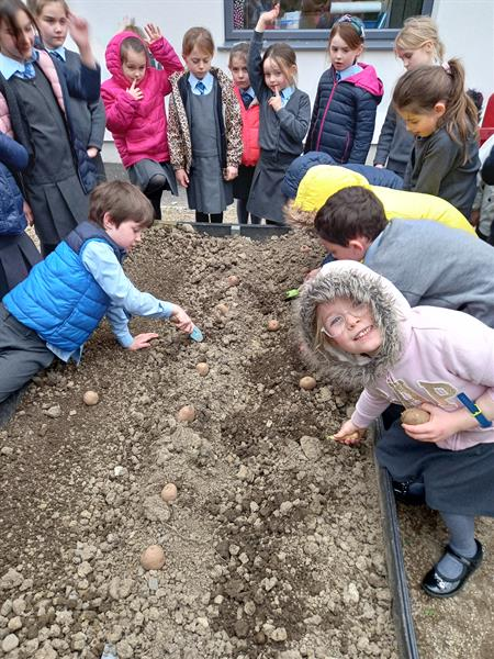 Planting potatoes and Carrots